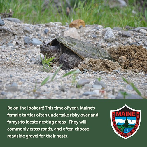 Warning watch out for turtles crossing the road for Maine fish wildlife